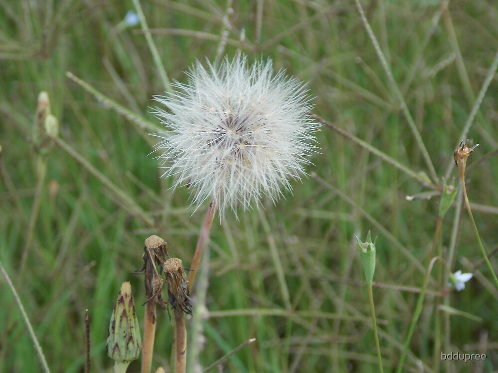 dandelion by bddupree