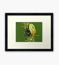 Brown Marmorated Stink Bug Nymph Framed Print