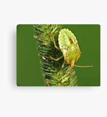 Brown Marmorated Stink Bug Nymph Canvas Print