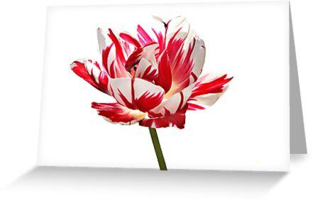 """Tulip """"Carnaval de Nice"""" by Oxana Allen"""
