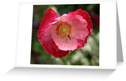 Pink Poppy by Oxana Allen