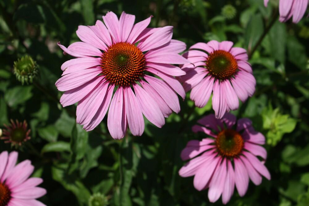 Pink Daisies by TrevorStar