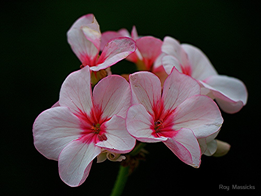Geranium - close-up .......! by Roy  Massicks