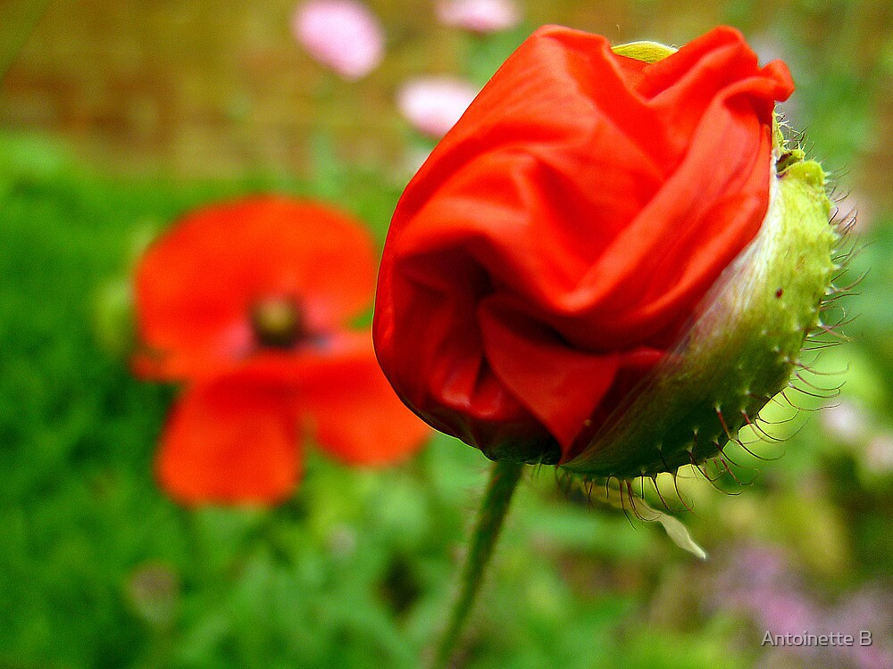 Field Poppies by Antoinette B