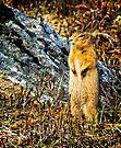 Richardson's Ground Squirrel by Yukondick