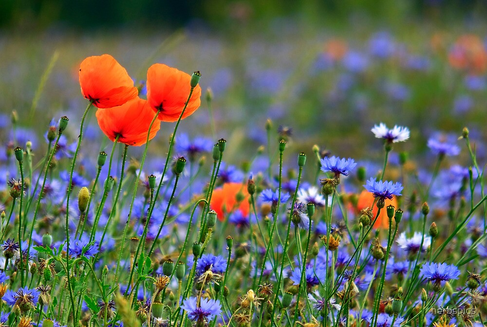 Poppies In Cornflower Field by herbspics