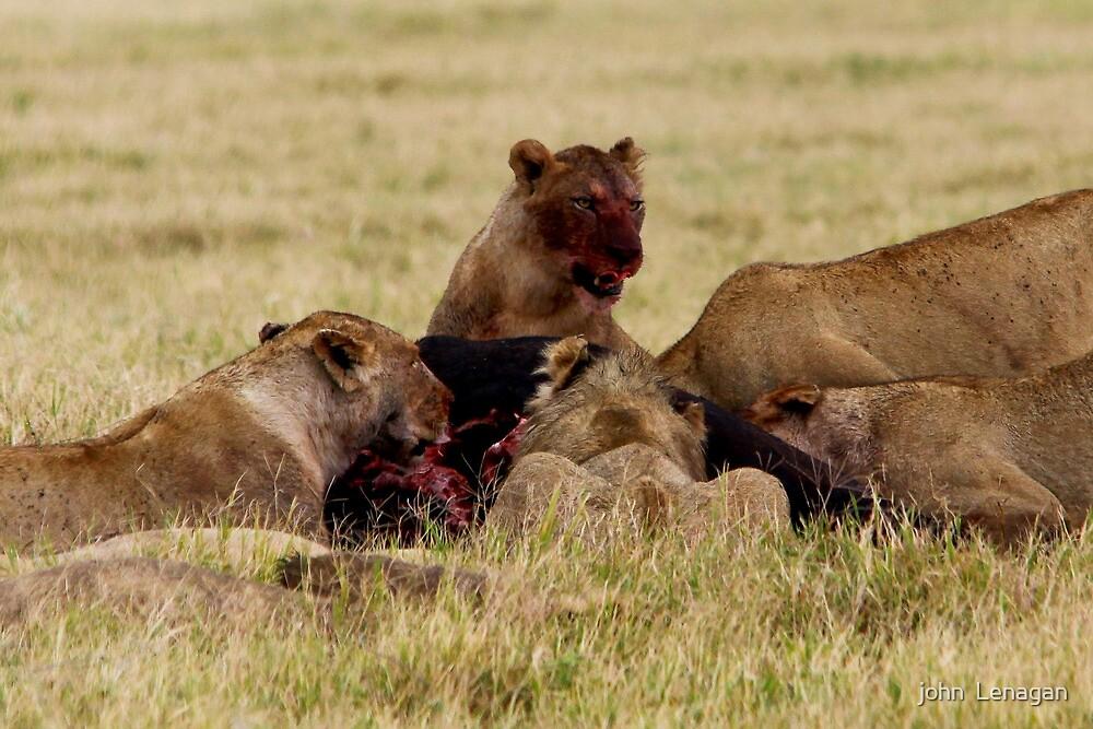 Still feasting 6hr later   -   ( Lion – Panthera leo )  Ngorongoro Crater Tanzania by john  Lenagan