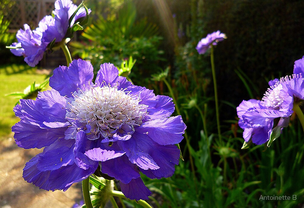 Scabious  by Antoinette B