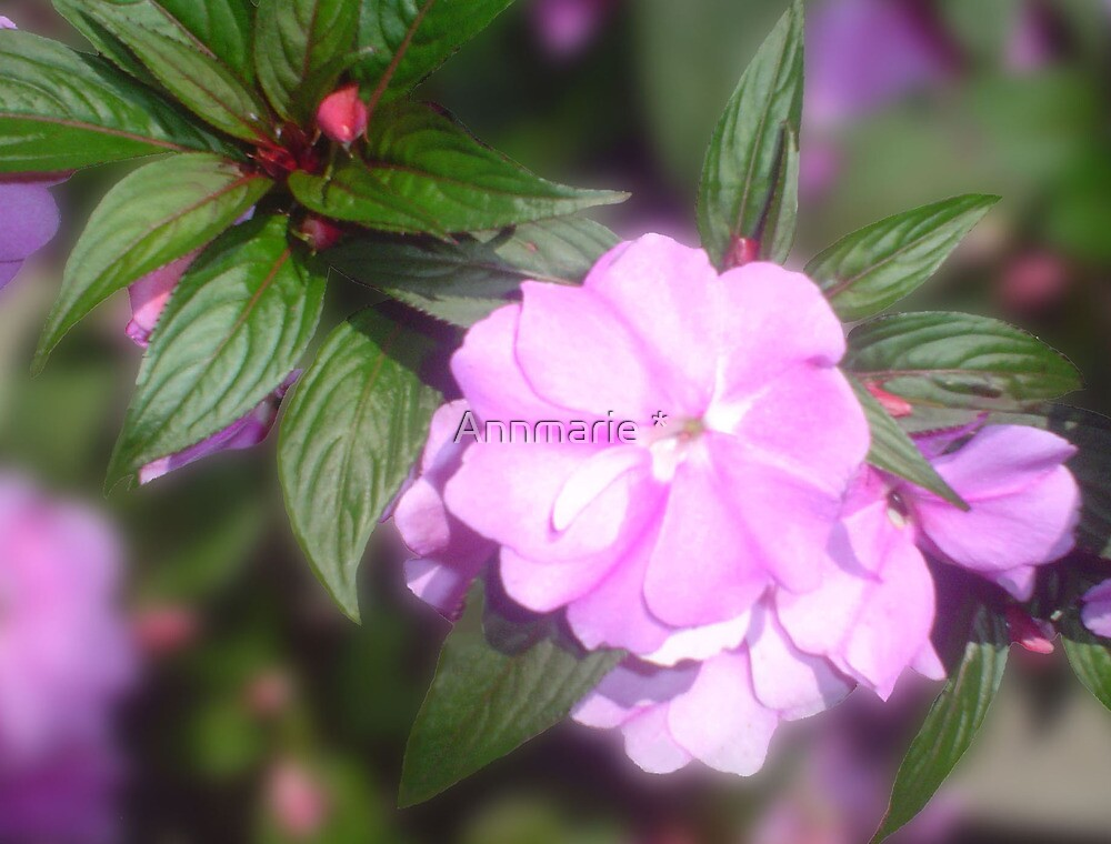 Impatiens  by Annmarie *