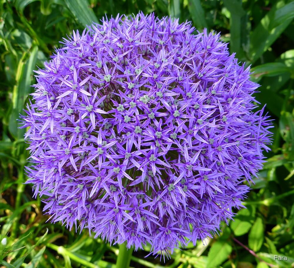Allium by Fara