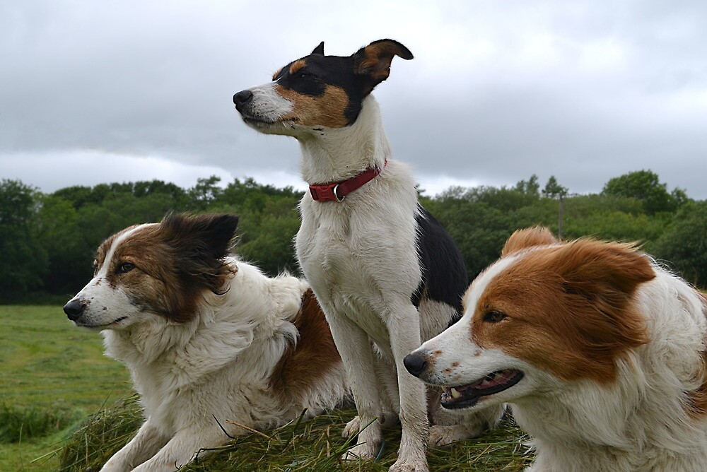 Sheep dogs at attention by fordlltwm