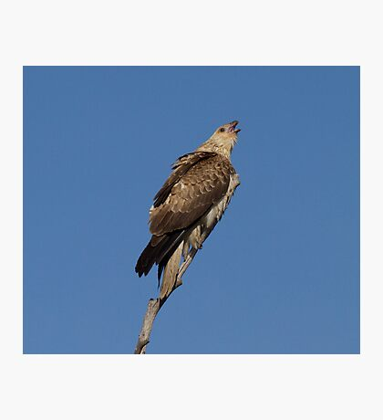 Call Of the Wild   Whistling Kite  Photographic Print