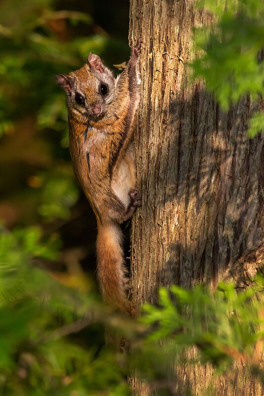 Quot Northern Flying Squirrel In Habitat Quot By Daniel Cadieux