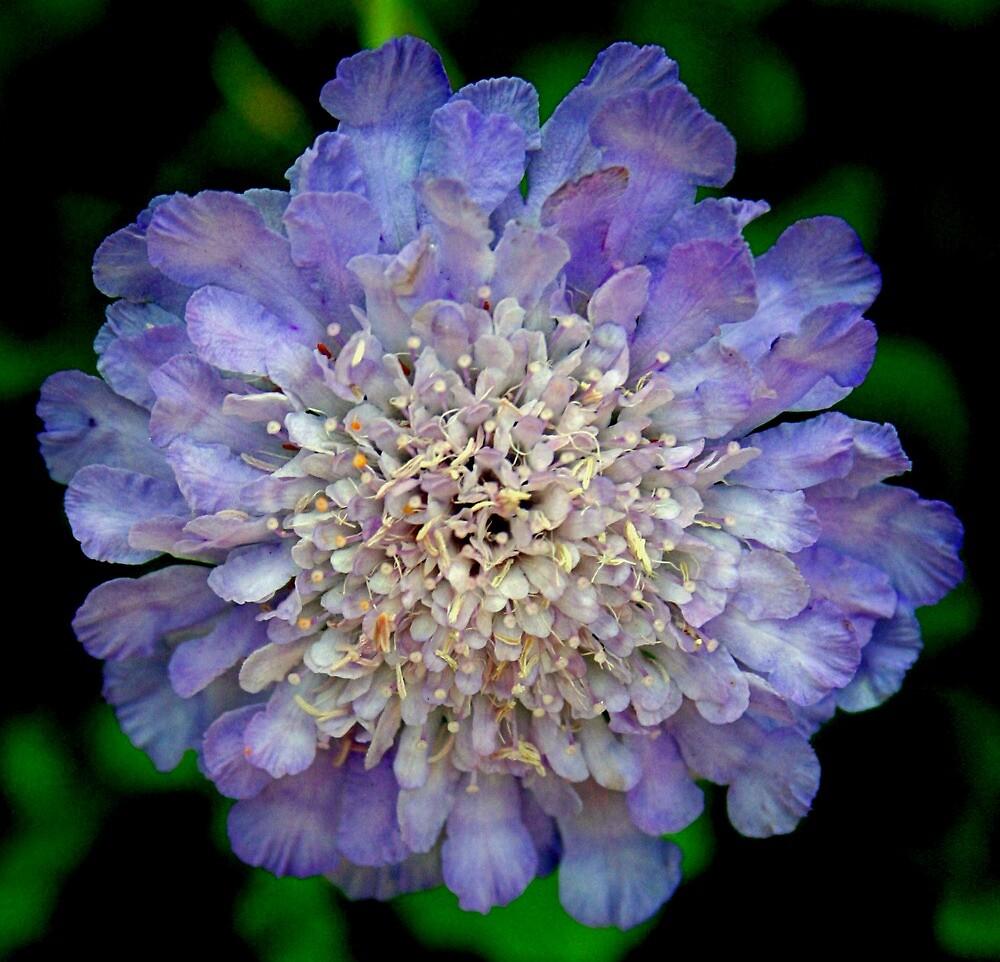 Lavender Blossom by Karen Harrison