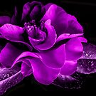 Purple Passion Camelia by Heather Friedman