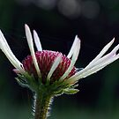 Pale Purple Coneflower - Opening by Robin Clifton