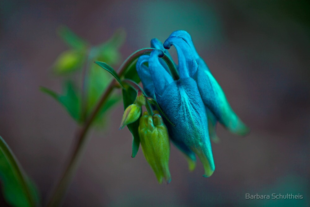 First Columbines by Barbara Schultheis