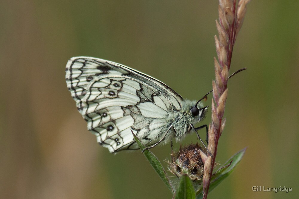 Marbled White by Gill Langridge