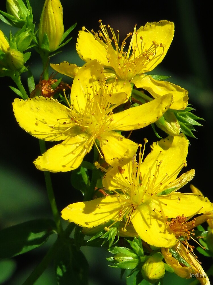 St. John'swort by lorilee