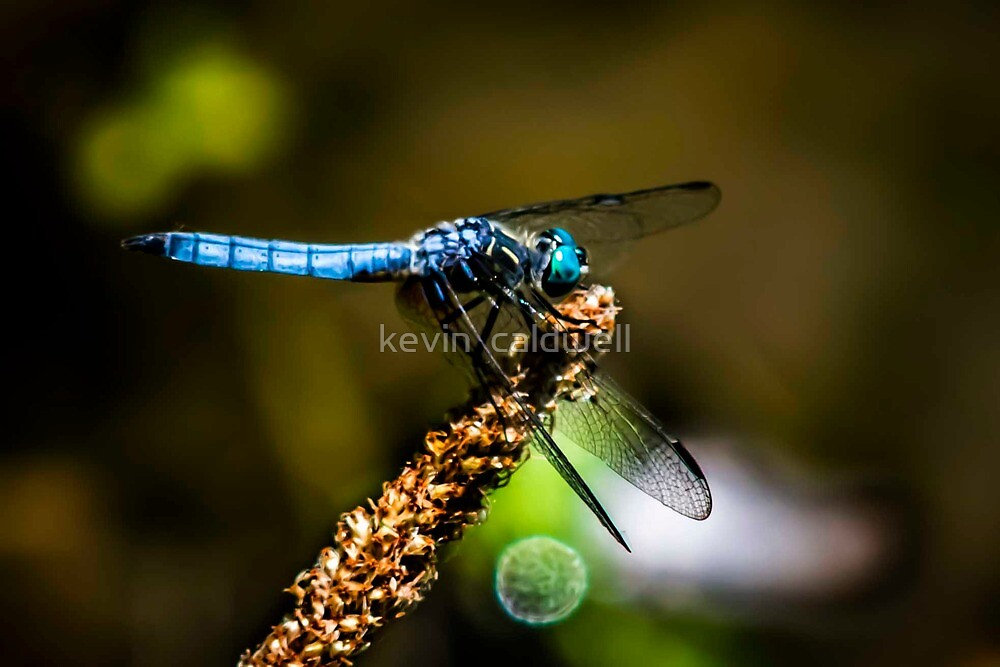 blue dfly by kevin  caldwell