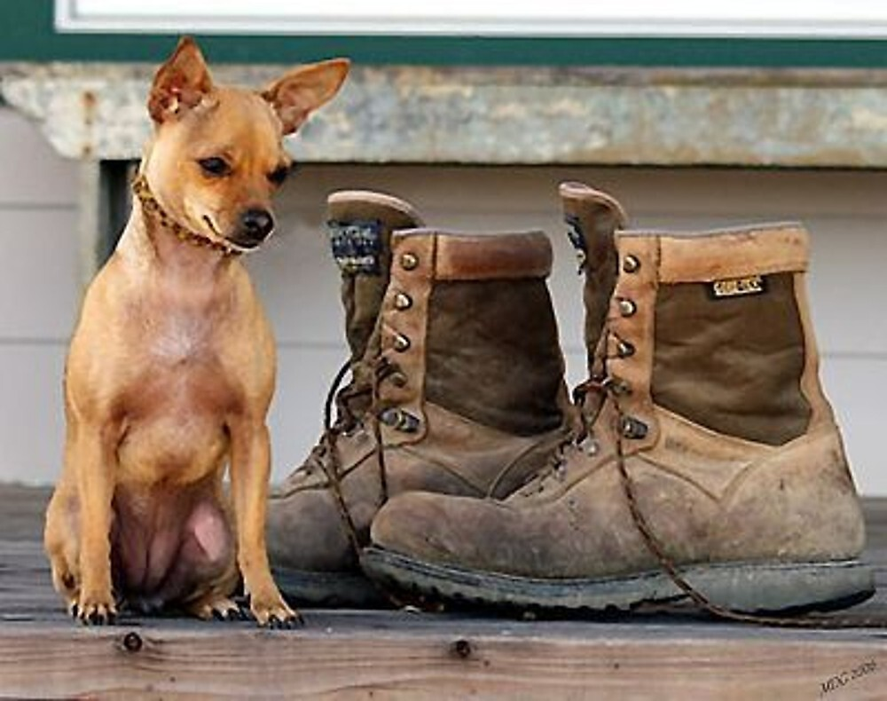 Chihuahua With Work Boots by Oldetimemercan