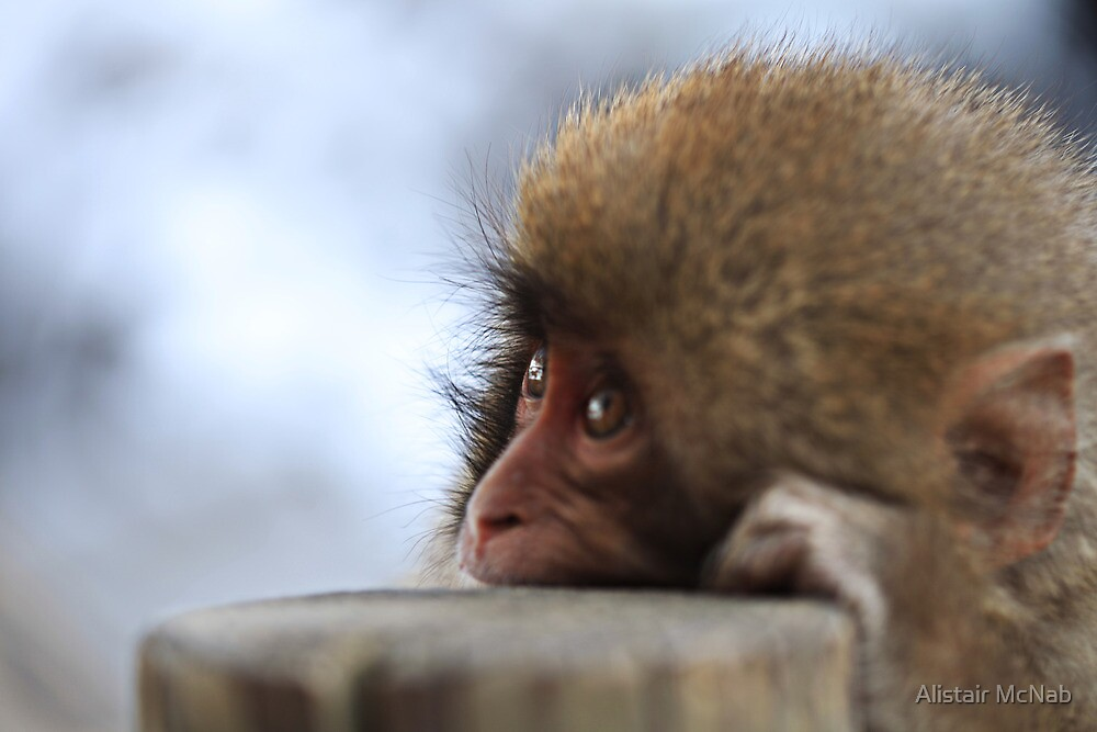 Baby Snow Monkey by Alistair McNab