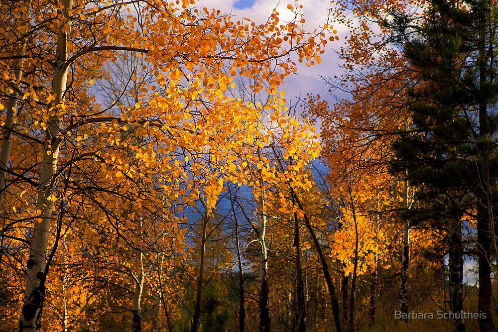 Aspens in Autumn by Barbara Schultheis