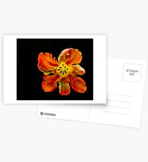 Parrot Tulip Postcards