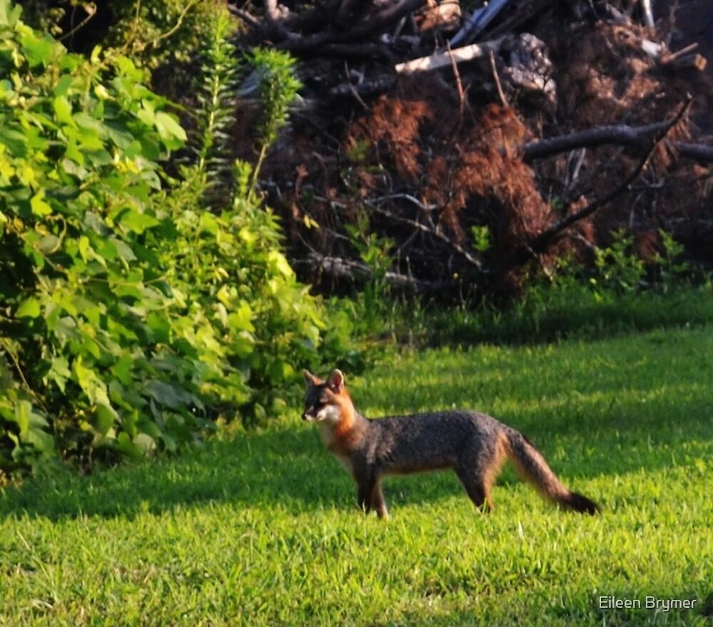 A Fox in My Yard! by Eileen Brymer