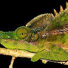 Detail  of  Male Chameleon (Furcifer antimena)   Ifaty Madagascar by john  Lenagan