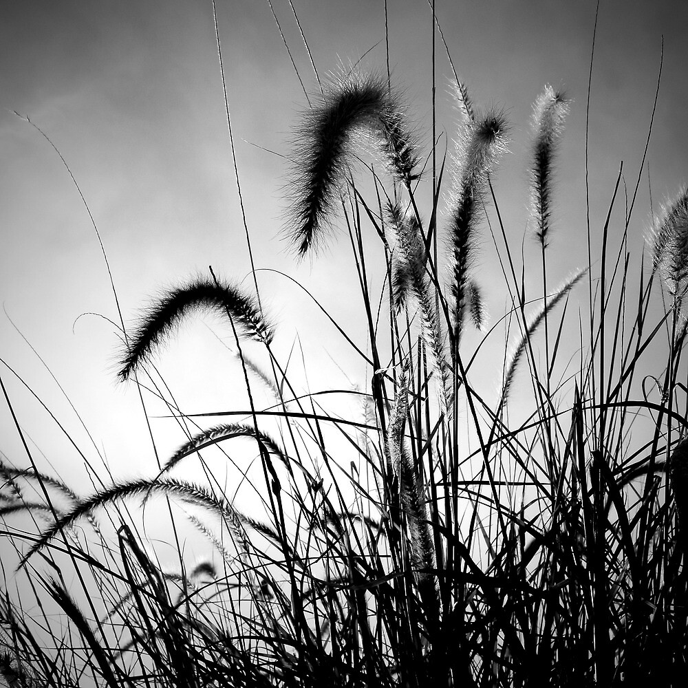 Mouse Tail Grass Silhouette by Roland de Haas