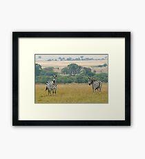 Plains zebras Framed Print