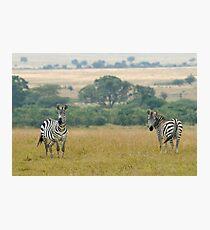 Plains zebras Photographic Print