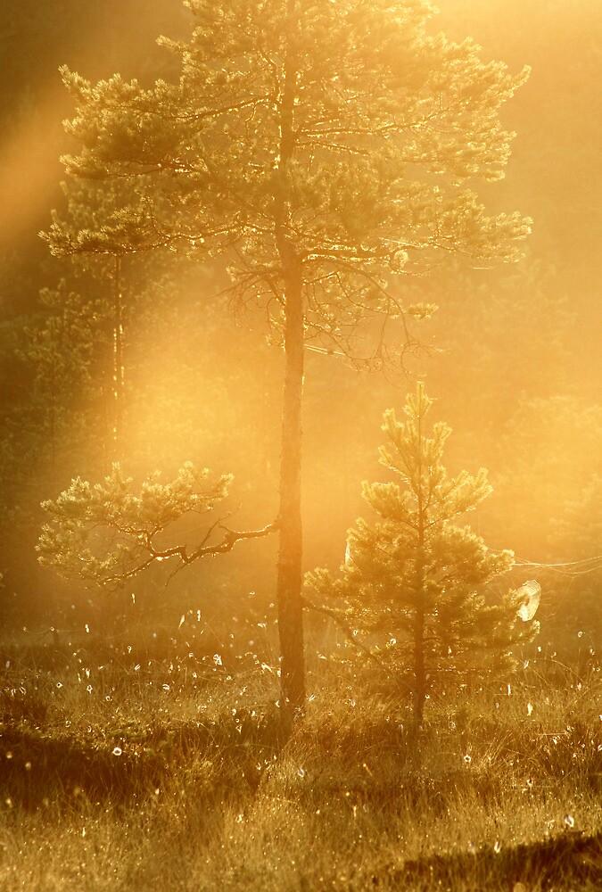 13.7.2013: Pine Trees II by Petri Volanen
