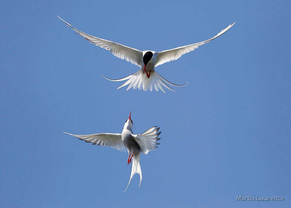 Acrobatics from Arctic Terns by Martin Lawrence