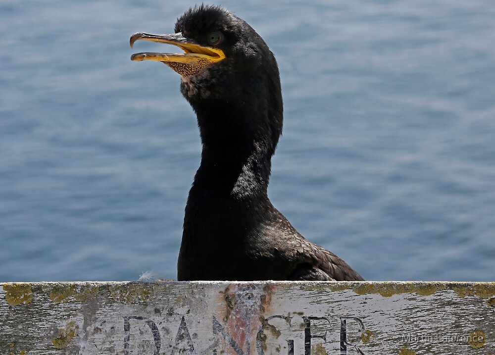 Dangerous times for a Shag on the Farne Islands by Martin Lawrence