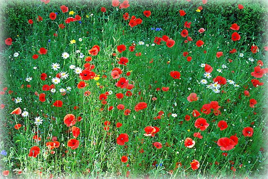 Poppy Love.... by MY Scotland