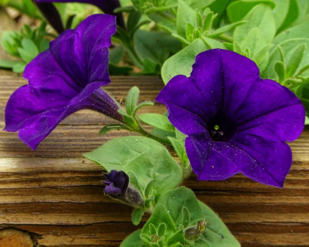 Purple Garden Petunias by PineSinger