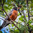 Robin in Apple Tree by George I. Davidson