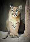 Mountain Lion Cub (Cruz) by Kimberly Chadwick