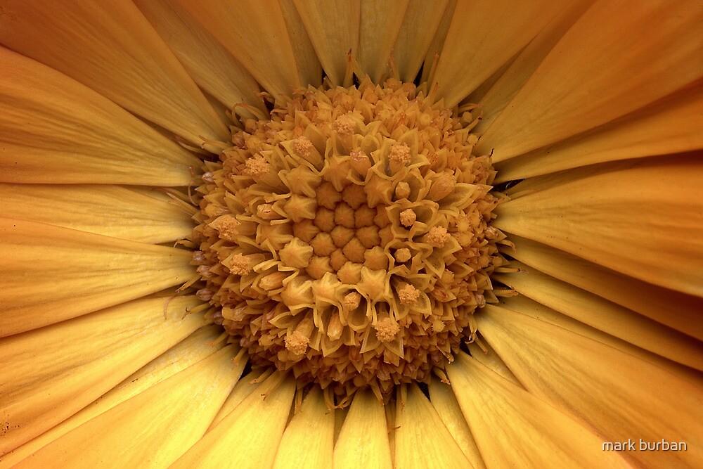 yellow winter daisy by mark burban