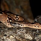 Madagascar Boa ( Acrantophis dumerili )  - Ifaty Madagascar by john  Lenagan