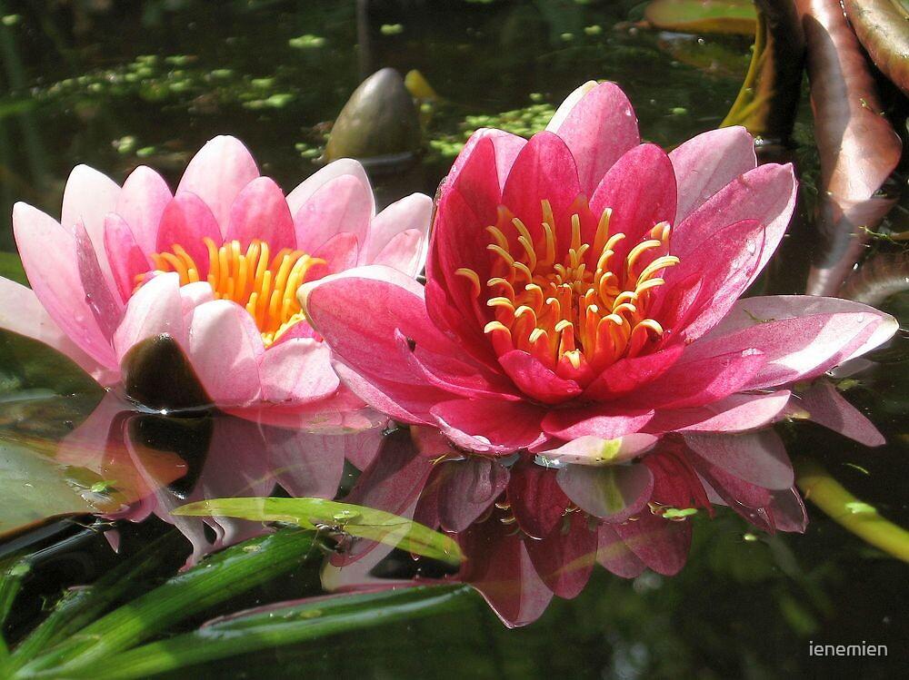 Water lily's  by ienemien