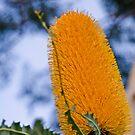 Ashby's Banksia (Banksia ashbyi) I by Adam Le Good