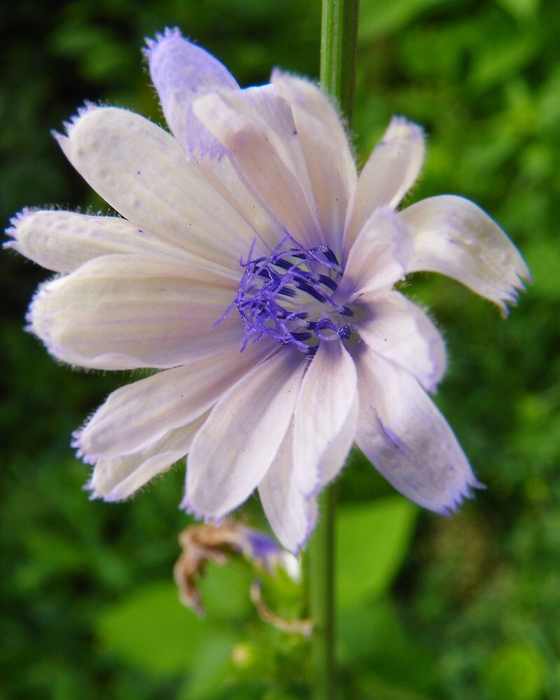 White Chicory by PineSinger
