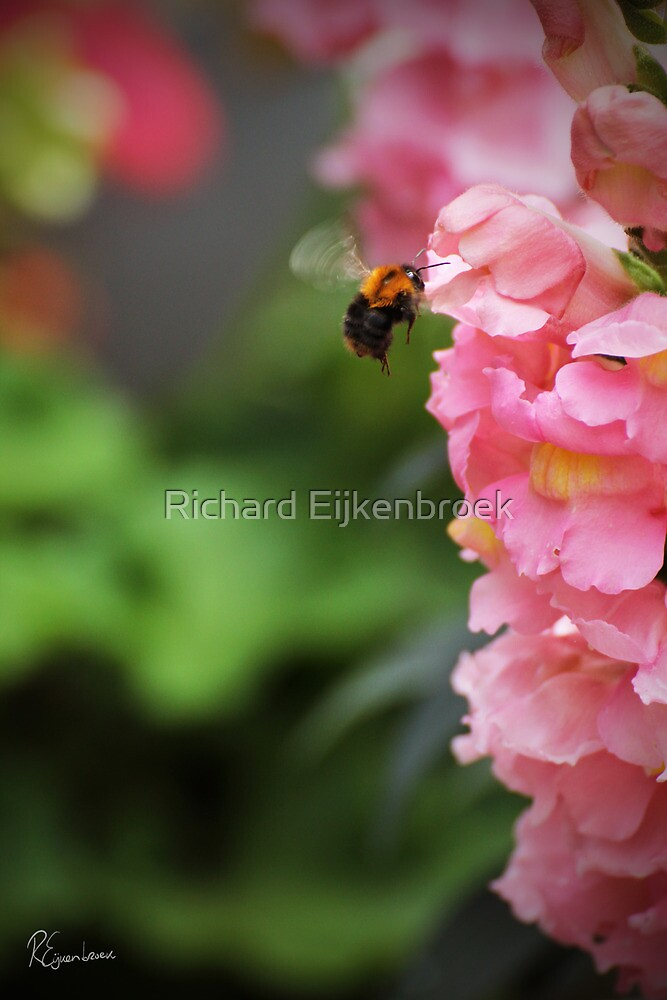 Ready for touchdown - The Bee and the Flower by Richard Eijkenbroek