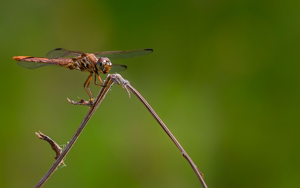 Dragonfly by pond by Colin Bester