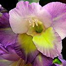 Gladiola of 2013 by Dennis Rubin IPA