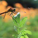 Dragon Fly by jroch