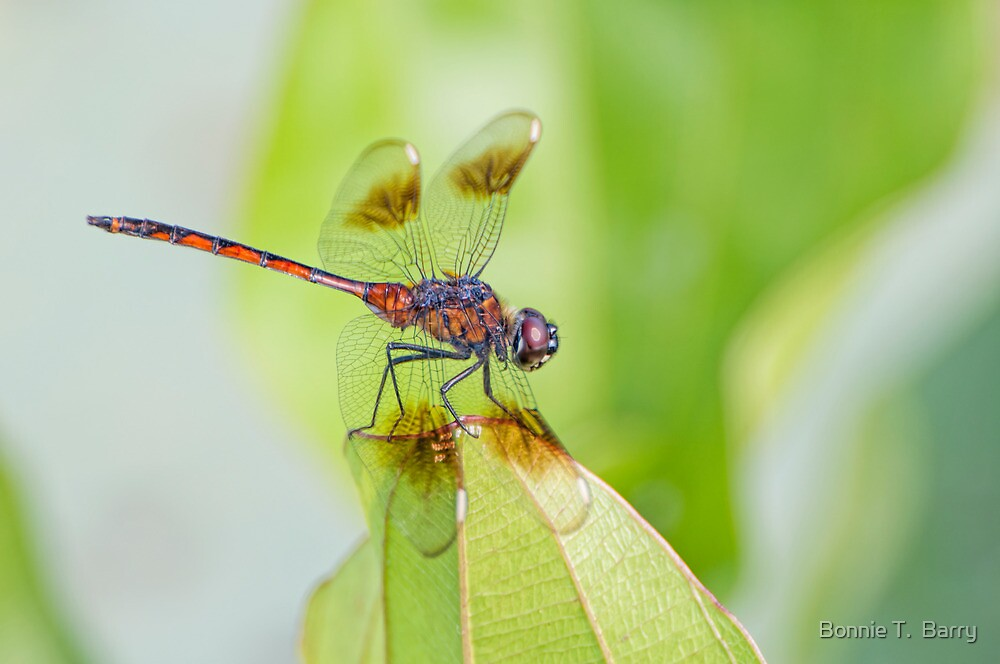Four Spotted Pennant Dragonfly by Bonnie T.  Barry
